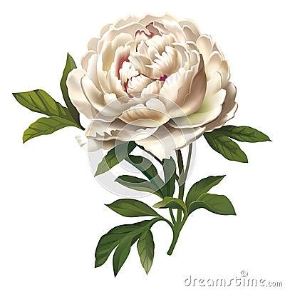 Ilustração da flor do Peony
