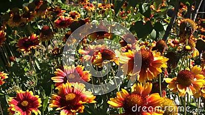 Imágenes Lentas De La Abeja En La Hermosa Flor almacen de video