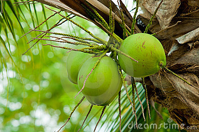 An image of fresh young coconut