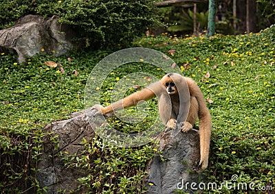 Image of a gibbon on nature background. Wild Animals.