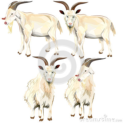 Image of goat.