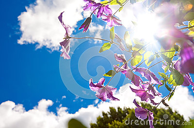 Image of purple clemetis against blue sky and sun.