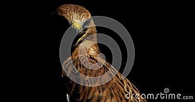 Immagine di un grosso uccello predatore, falco con becco aperto e occhi grandi, 4k archivi video