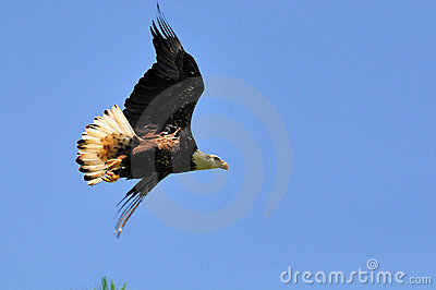 Immature American Bald Eagle in Flight