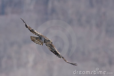 Immature Bald Eagle in Flight
