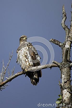 Immature Bald Eagle perched