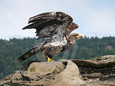 Immature Bald Eagle Take Off