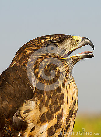 immature common buzzard - close-up  / Buteo buteo
