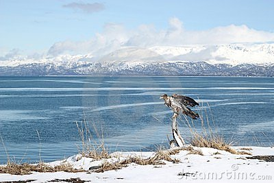 Immature eagle by the bay
