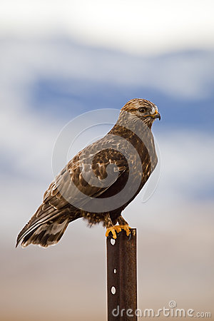 dark phase Rough-legged hawk Buteo lagopus
