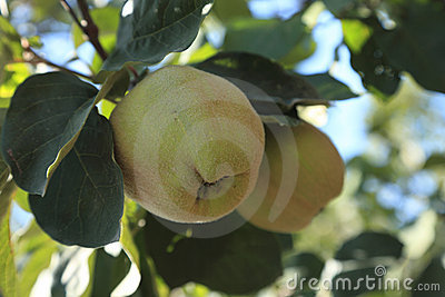 Immature quinces (Cydonia oblonga)