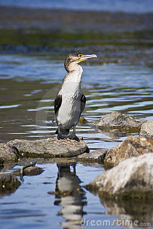 Immature White-breasted Cormorant