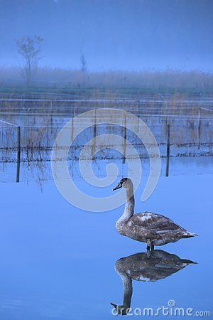 Immature young swan standing in water