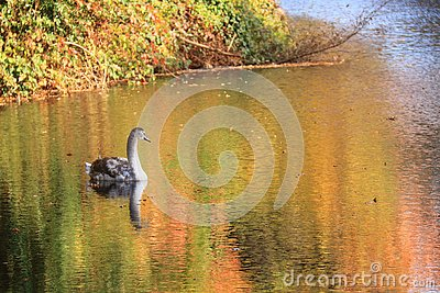 Immature young swan swimming in lake