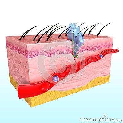 Immune response system of human skin