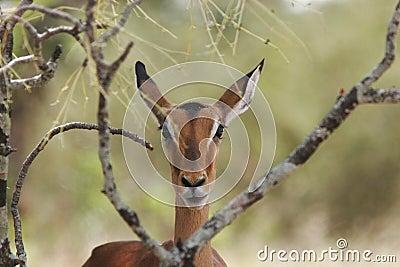 Impala