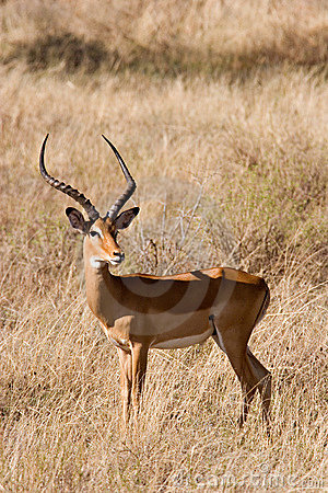 Free Impala Royalty Free Stock Images - 4495369