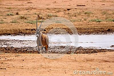 Impala Africa