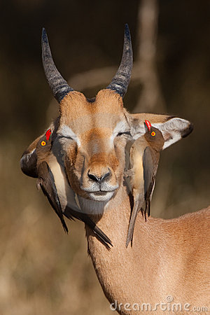 Free Impala And Oxpeckers Stock Images - 20913554