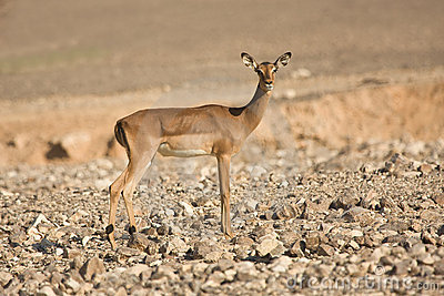 Impala antelope on desert
