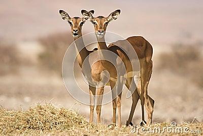 Impala antelopes