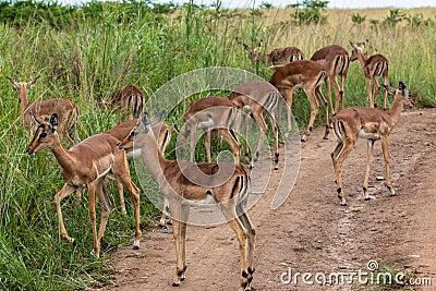 Impala Buck Calfs Wildlife