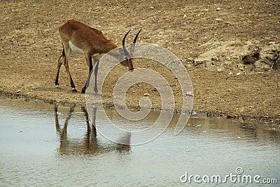Impala cerca del río