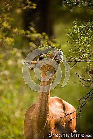 Free Impala Eating Stock Photo - 20815010