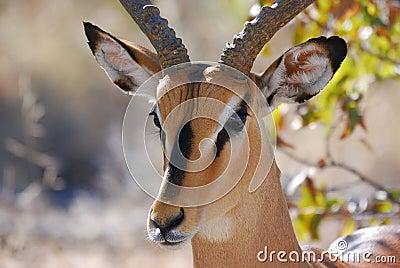 Impala in Etosha