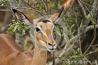 Impala ewe on alert in bushveld