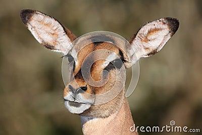 Impala Ewe Portrait