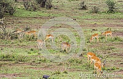 Impala Grazing