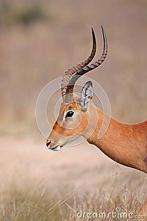 Impala, Kruger park, South Africa