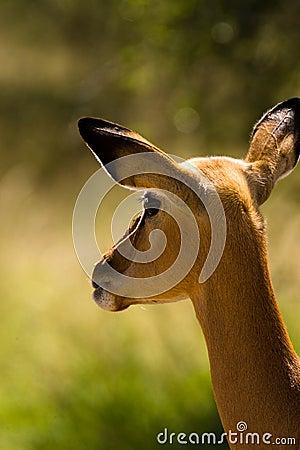 Impala looking