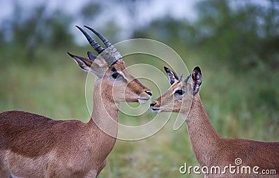 Impala males in the rain