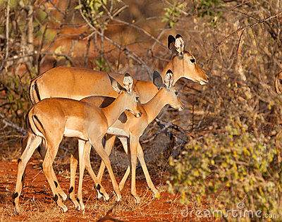 Impala mother and twins