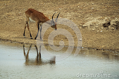 Impala près de rivière