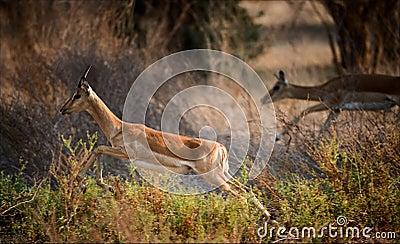 Impala  is running.