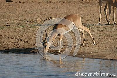 Impala at water hole
