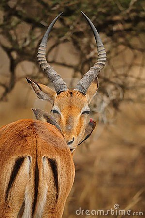 Impapa Antelope and Oxpecker