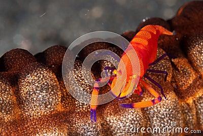 Imperator shrimp