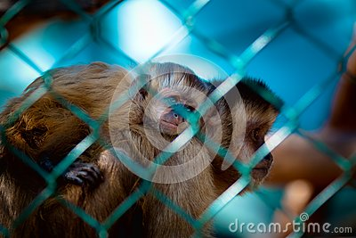 Imprisoned monkeys
