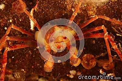 Inachus - Anemone crab