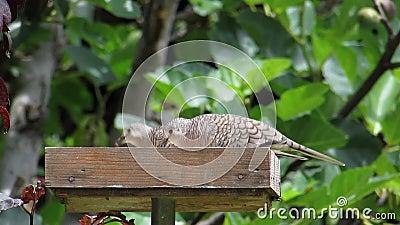 Inca Doves Feeding in Voeder stock video