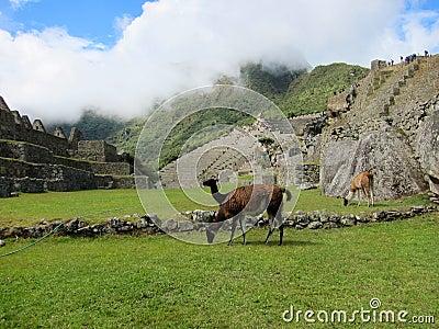 Inca ruins of Machu Picchu and llamas, Peru