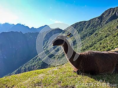 Inca trail Lama
