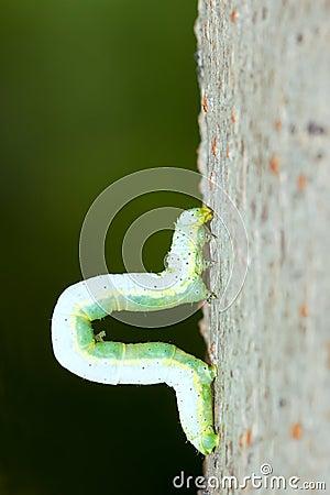 Free Inchworm Stock Image - 25090911