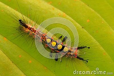 Inchworm