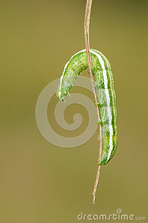 Free Inchworm Stock Images - 41428914