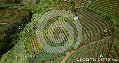 Inclinação de campos terraced com plantas luxúrias video estoque